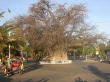 Baobab eny amin'ny bord mampalaza an'i Majunga
