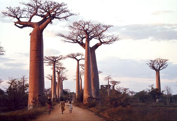 Baobab 55