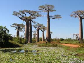 mcm-baobab6