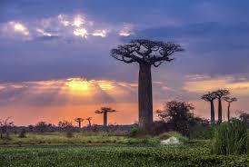 baobab16