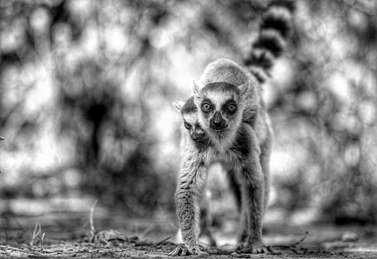 lémurien Toliara tsy miroro